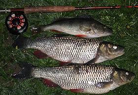 Ventas zivis